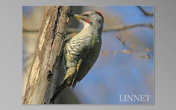 Photo: アオゲラ  キツツキ目 キツツキ科  ( Japanese Green Woodpecker )
