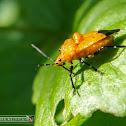 Oriental orange Pentatomid bug