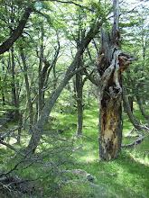 Photo: Südbuchen- Wald