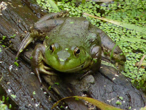 Photo: The Bullfrog Is not very welcome in our ponds as they are large and will eat anything that moves and that they can stuff down their throats:  http://en.wikipedia.org/wiki/American_bullfrog