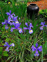 Photo: Dutch irises