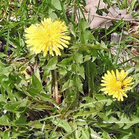Daisies by Jaliya Rasaputra - Flowers Flowers in the Wild