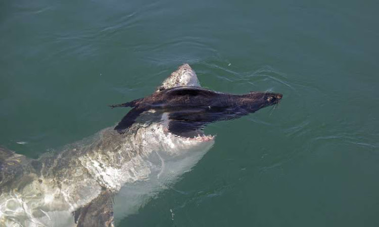 A great white shark launches an attack in pursuit of a Cape fur seal.