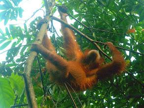 Photo: Bukit Lawang - orangutan