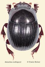Photo: Ateuchus rodriquezi, 7 mm, Costa Rica, La Cruz (11°07´/-83°36´), leg. Erwin Holzer, det. Darren J. Mann, vid. Angel Solis
