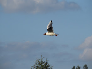 Photo: 26 Jul 13 Priorslee Flash: Was pleased with this flying Black-headed Gull: nothing special about it. (Ed Wilson)