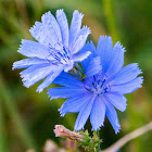 Chicory, blue daisy, blue dandelion, blue sailors, blue weed, bunk, coffeeweed, cornflower, hendibeh, horseweed, ragged sailors, succory, wild bachelor's buttons, wild endive