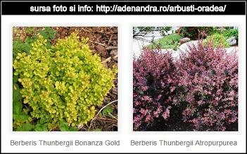 Photo: Dracila (Berberis)  Info de pe net: http://adenandra.ro/arbusti-oradea/