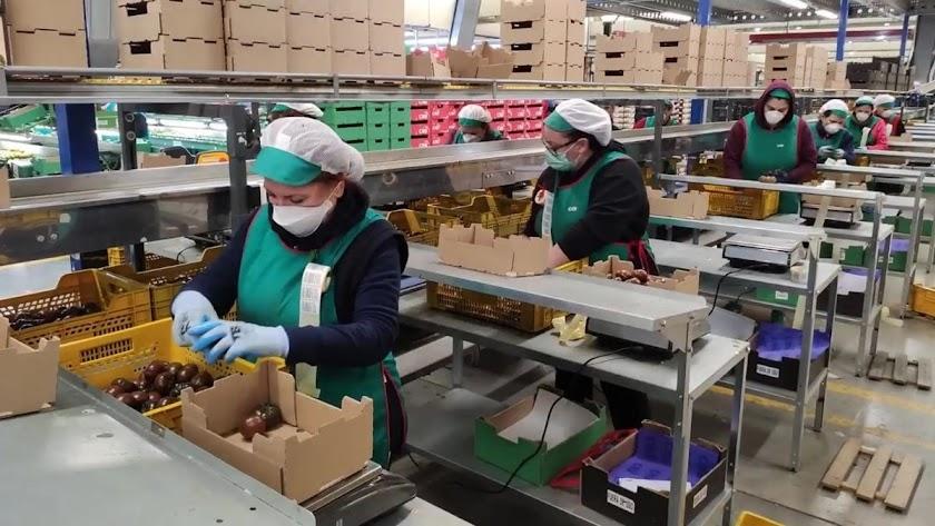 Envasadoras de tomate en un almacén agrícola almeriense.