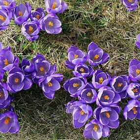 Crocus in my garden by Keld Helbig Hansen - Flowers Flower Gardens