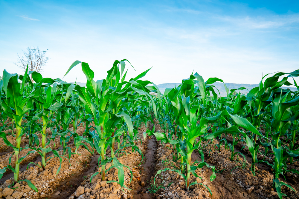 Atraso de plantio e queda de produtividade na segunda safra do milho foram os principais motivos da redução de estimativa para colheita de grãos. (Fonte: Shutterstock/Torychemistry/Reprodução)