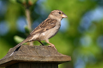 Photo: #BirdPoker Portraits curated by +Phil Armishaw  A female House Sparrow perched on a fencepost.