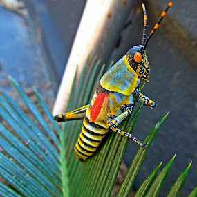 by Nico Ebersohn - Animals Insects & Spiders ( leaves, grasshopper, insect, yellow, colors,  )