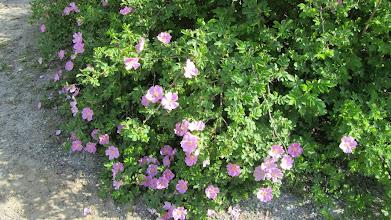 Photo: Sireenien lisäksi myös ruusut tuoksuivat.