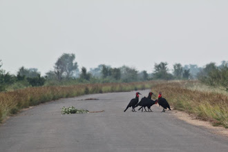 Photo: Kruger NP - Southern Ground-Hornbill