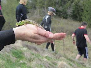 Photo: Meilingesnės driežės dar nemačiau. Kiek kas tasė, tiek jai patiko, mat pusę varlės surijus buvo :)