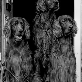Masters of the house by Ken Jarvis - Black & White Animals ( dogs, black and white, irish setter, irish, dog portraits )