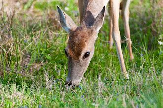 Photo: White-tailed deer
