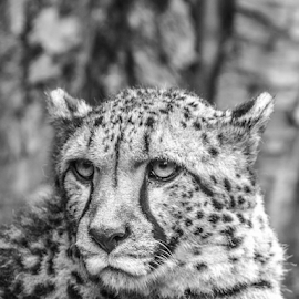 Cheetah by Garry Chisholm - Black & White Animals ( nature, mammal, cat, cheetah, garry chisholm )