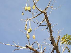 Photo: owoc baobabu afrykańskiego - w smaku przypominający nieco kwaśną piankę