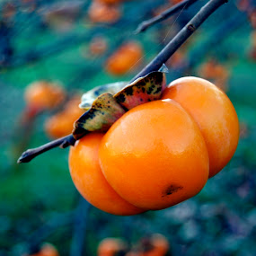 Persimmon Tree by Amber Thomas - Nature Up Close Gardens & Produce ( pwcvegetablegarden, persimmon tree )