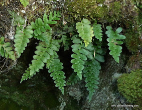 Photo: Ferns in the shaded rocks of the south shore