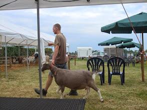Photo: De geiten van fam. de Groot worden vanuit de stal naar de tent gebracht.
