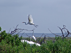 Photo: Egret and Heron Rookery - Middle Marshes - Off limits.
