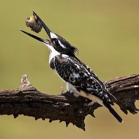Kingfisher by Karin Mitton - Uncategorized All Uncategorized (  )