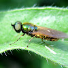 Soldier fly, male