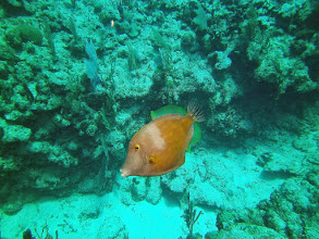Photo: White_spotted_filefish