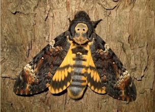 Photo: Acherontia atropos  Pge      Lepidoptera > Sphingidae