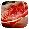 عاشق وردة موضوع APK