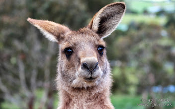 Photo: Kangaroo, Tasmania