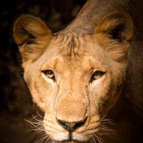 Lioness by Putra Bustami - Animals Lions, Tigers & Big Cats ( ptr )