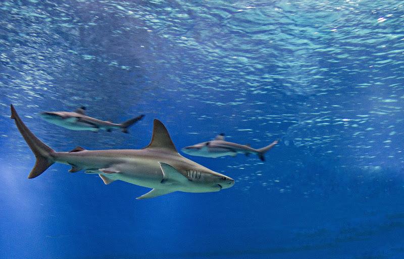 squali di fantasma49