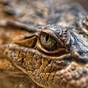 Eye of the Boot by Don Chamblee - Animals Reptiles