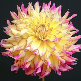 Yellow & Purple Dahlia #9 by Jim Downey - Flowers Single Flower ( dahlia, yellow, black, purple, petals )