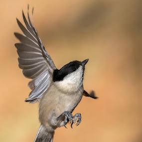 Willow tit flying by Roberto Melotti - Animals Birds ( bird, flight, flying, poecile montanus, roberto melotti, poecile, passerine, switzerland, nikon d810, willow tit, passerine bird )