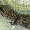 Ocellated Velvet Gecko