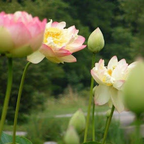 by Sonja Lawrence - Flowers Flower Gardens (  )