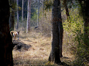 Photo: A tiger approaches at Bandipur 2012