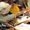 Entoloma luteum Mushroom