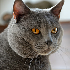 Hugo Chartreux by Serge Ostrogradsky - Animals - Cats Portraits (  )
