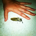 Giant Acacia Click Beetle