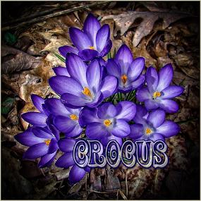 crocus by Lennie L. - Typography Words