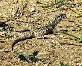 Photo: Blunt Nosed Leopard Lizard - M. White