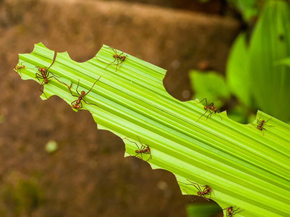Formigas-cortadeiras podem danificar de maneira significativa as plantações de eucalipto. (Fonte: Shutterstock)