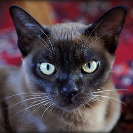 George by Caroline Beaumont - Animals - Cats Portraits ( cat, burmese kitten, brown burmese, burmese cat, brown cat )