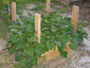 Photo: The Sweet Potato Project begins...